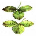 Дендрофомоз (Серая пятнистость стебля)