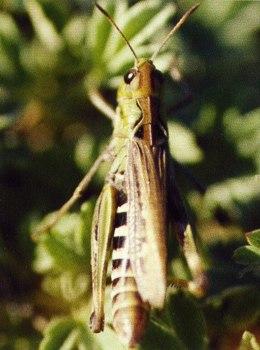 Кобылка сибирская (Aeropus sibiricus L.)