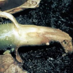 Корневая гниль (Pythium SPP.)