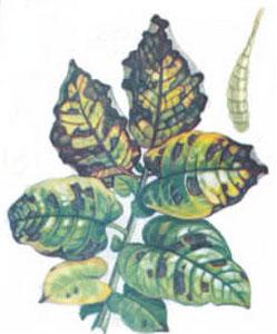 Макроспориоз (сухая пятнистость)