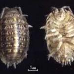Мокрицы (Oniscidae)