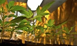 Бактериальные болезни у марихуаны