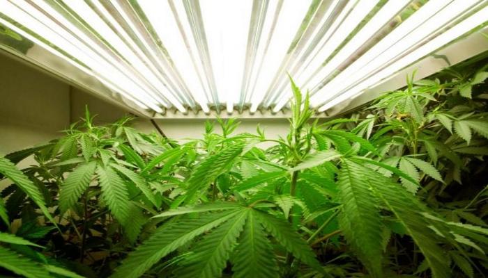 недостаток света, недосвет, недостаточно освещения при выращивании конопли, выращивание конопли, проблемы конопли, ошибки выращивания марихуаны, гровинг каннабиса, 420, аутдор, индор,