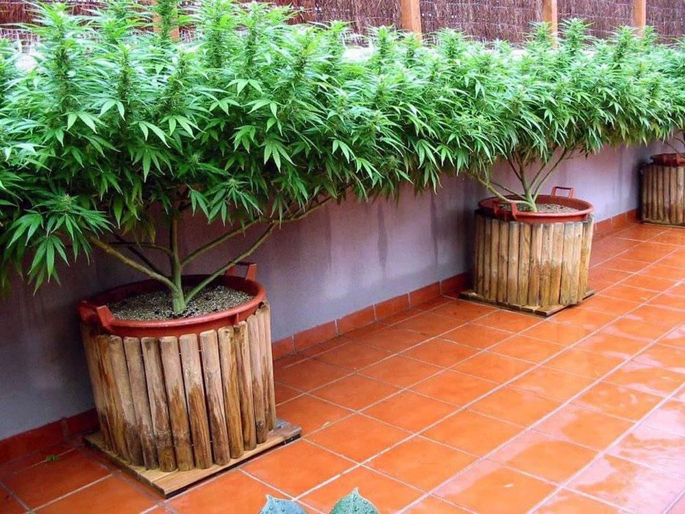 выращивание конопли, проблемы конопли, ошибки выращивания марихуаны, гровинг каннабиса, 420, аутдор, индор, запах конопли, как скрыть запах цветения марихуаны, цветение каннабиса, сильный запах,
